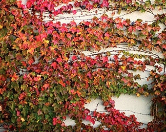 Parthenocissus, Boston Ivy, 100 seeds bulk, charming vine, brilliant berries, fall color, good insulation, erosion control, fine in any zone