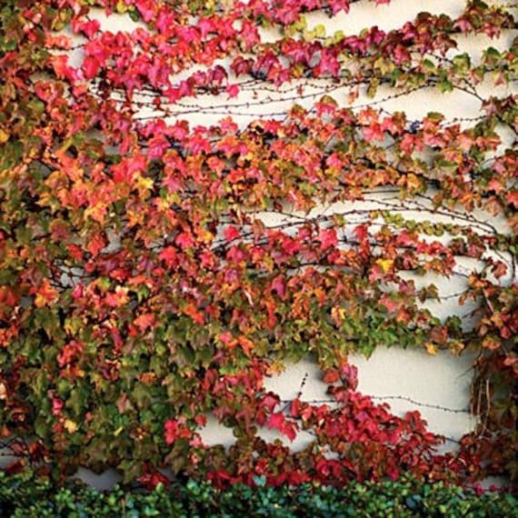 Parthenocissus Boston Ivy 100 Seeds Bulk Charming Vine