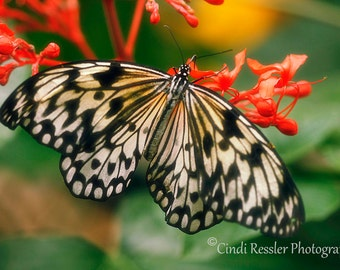 Paper Kite Butterfly, Fine Art Photography, Butterfly Photography, Nature Photography