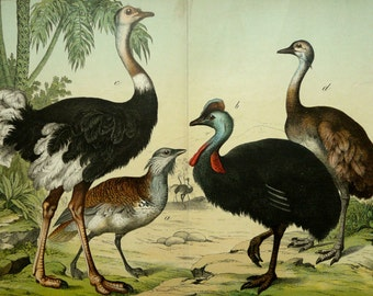 1880 Antique FLIGHTLESS BIRDS print: Ostrich, Australian Cassowary, Greater Rhea. 136 years old gorgeous lithograph