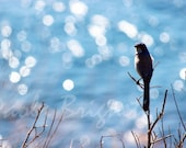 Blue Jay and Sun Reflecting on Ocean - Bird Photography - Coastal Photography - 8x12, Bokeh, Wall Art - WorldPhotosByPaola