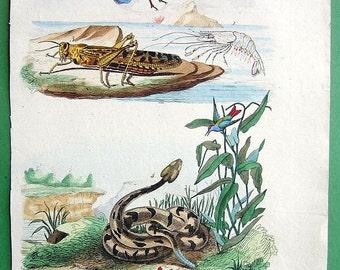 NATURAL HISTORY 1. Shrimp, 2-3. Cricket, 4. Rattlesnake - 1836 H/C Color Antique Print