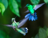 Hummingbirds--The Hummers No.6