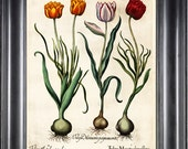 BOTANICAL PRINT Besler 8x10 Botanical Art Print 20 Beautiful Red Yellow Tulips Spring Garden Flowers Bulb Chart Antique Writing Home Decor