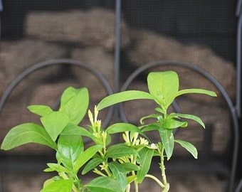 Night Blooming Jasmine - 4'' Pot