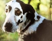 Dog photography- great dane-shelter dogs-pet photography- rustic vintage
