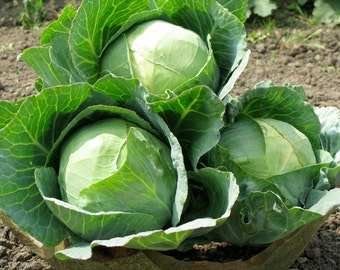 Heirloom, Danish Ballhead Cabbage, Large Cabbage Heads, Grown on Our Farm, 25 Seeds