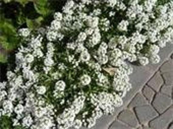 Alyssum Carpet of Snow, Perfect for Terrariums, 100 Seeds
