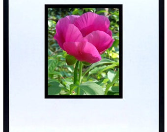 "Pink Poppy 3 Photograph 8""x10"""