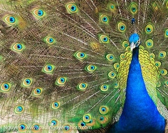 Peacock spreading feathers photograph, courtship display, 4x6 print matted on white 5x7 mat. Male peacock, spread, train, mating display