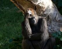 Gorilla Despair