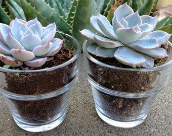 12 Succulent  Wedding Favors in new Flower Pot shape, Succulent Bridal Shower Favor, Spring or Summer Wedding Favor, special Event Favor