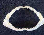 "8"" - 9""  Real Shark Jaw No.1 quality bone animal skull"