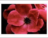 Set of 3--5x7 Greeting Cards--Red Flower