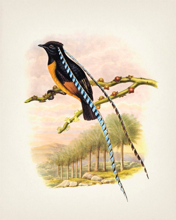 King of Saxony Bird of...
