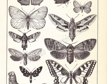 1898 Wonderful Butterflies and Moths and their Caterpillars - Lycaena, Sphynx, Vanessa Saturina, Bombyx mori etc. Antique German Engraving