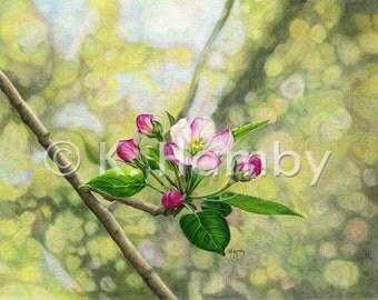 Apple Blossom Art Print of an Original Colored Pencil Drawing