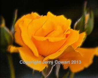 Rose Photography, Yellow Rose photo, Rose Fine Art Print, Anniversary or Wedding Wall Art Photography Gift