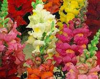 Antirrhinum majus seeds ,skilaki seeds, snapdragon flower seeds, code 58, gardening, flower mix seeds, summer flowers,