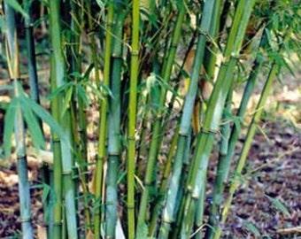 Box of 3 Borinda angustisima clumping bamboo plant hardy to 12f