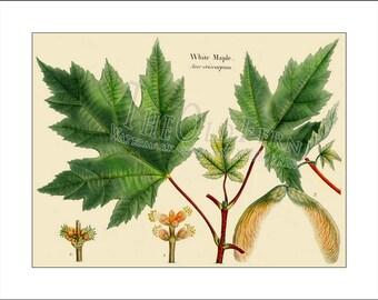 White maple vintage leaf print an tique oak hickory tree print