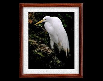 Great Egret Print - 8x10 Great Egret Photograph - Bird Photograph - Bird Print (P34)