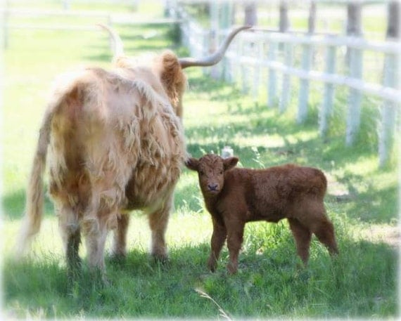 Items Similar To Ancient Scottish Highland Cattle Cow And