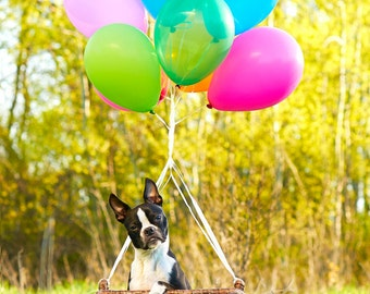 Hot air balloon card. Boston Terrier.