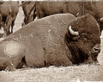 Resting, bison/buffalo, sepia, texture, old west
