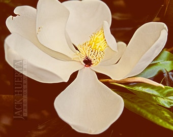 White Magnolia Flower Photo - 8x10 Fine Art Photography - Flower Photography Cream Yellow Green Brown Floral Spring Nature