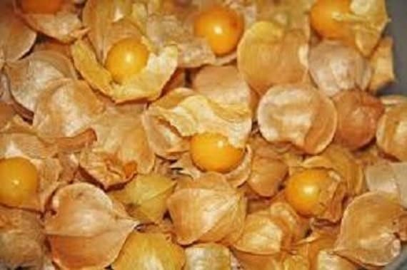 Ground cherry plant cossack pineapple organic heirloom for Pineapple in the ground