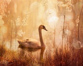 Nature photography, Swan, Lake, Atmospheric, Neutral Colours, Nature, Wall Decor.