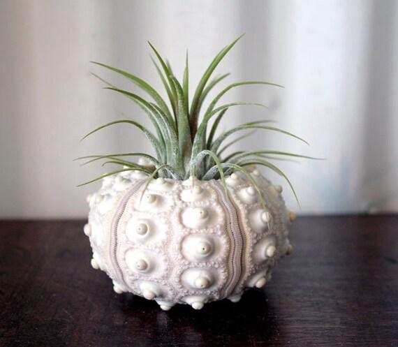 large pineapple // air plant tillandsia // sea urchin terrarium