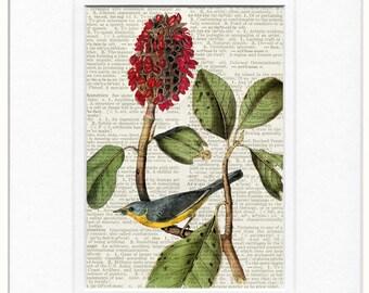 Audubon bird, Canada Warbler print