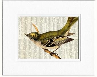 Grey Elaenia bird print
