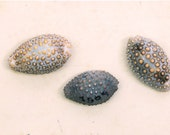 Shell Photography for Beach Decor - Cowries