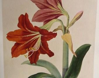 Amaryllis Botanical Illustration Art Print- Vintage Red Christmas Flowers - Unframed Winter Floral Painting Book Plate- Wall Decoration Idea