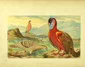 1880s Antique English Chromolithograph of the Horned Pheasant