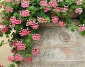 Summer Flowers Photo, Pink Flower Decor, Geranium Art, Pink Geranium Flowers, Italian Photography, Tuscan Kitchen Decor, Italy Photography