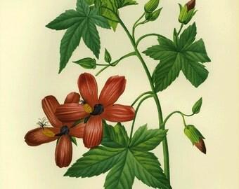 Vintage Redoute Botanical Print  Hibiscus SALE~~Buy 3, get 1 Free