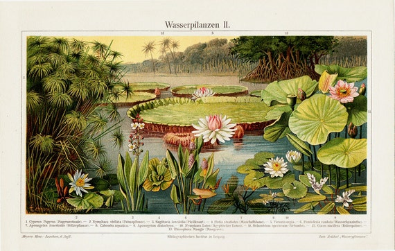 1894 Antique WATER LILIES print, beautiful Lily Pads on the river,  fine antique exotic FLORA  lithograph