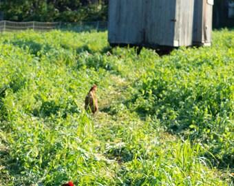 Pastured Hens Photo Print 8 x 10