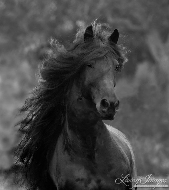 Black Friesian Comes Close - Fine Art Horse Photograph