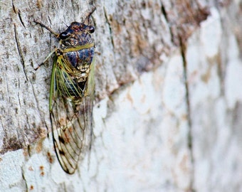 Cicada on a Tree, Cicada Insect Photography, Rustic Art