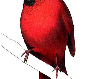 Cardinal in an Ohio State Football Helmet: A4 Print