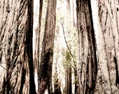 Landscape Photography, California Redwoods, trees, forest, neutral, dreamy - Walk in the Woods Fine Art Photograph