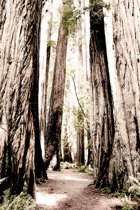 Landscaping With Redwood Trees : Items similar to landscape photography california redwoods trees
