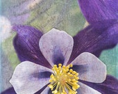 Columbine Duo, 5x7 Fine Art Photography, Flower Photography, Floral Photography - CindiRessler