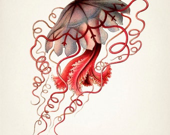 Vintage jellyfish illustration - photo#12