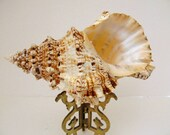 Beach Decor Bursa Bursa Specimen Shell
